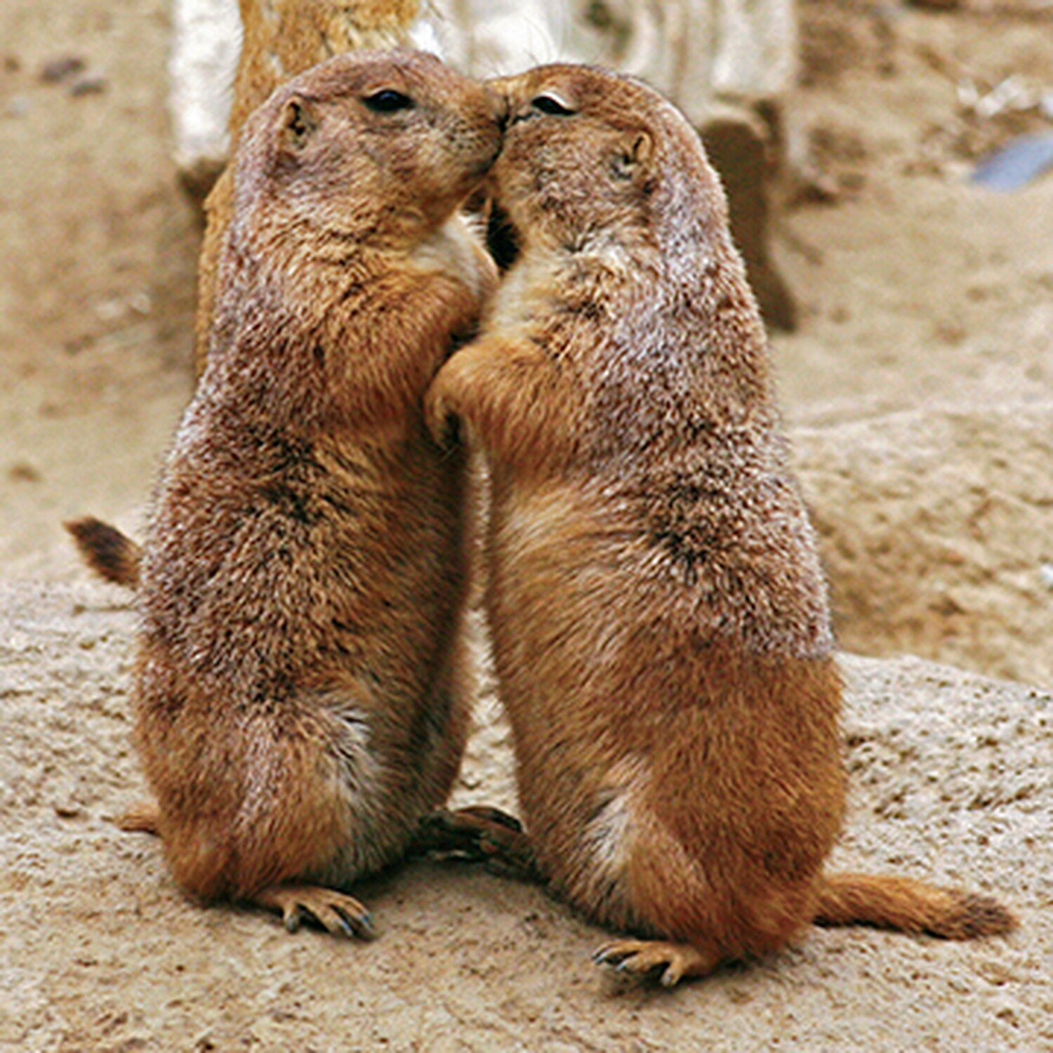 Just like us, prairie dogs kiss.