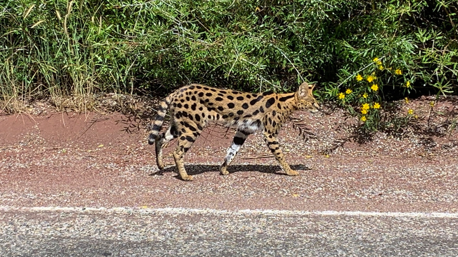 Exotic African Cat Roams Hyde Park | News | Santa Fe Reporter