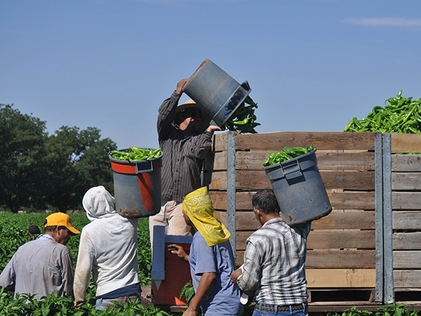 Workers earn between 65 and 80 cents for each large bucket of chile they pick. The fastest pick 100 buckets a day.