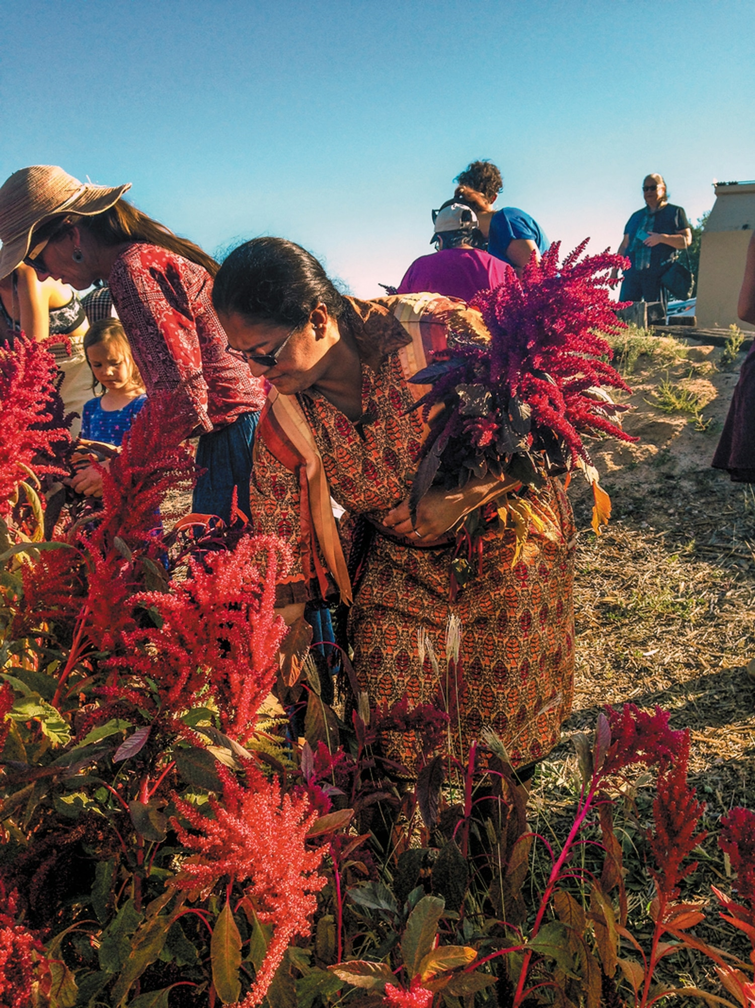 Beata Tsosie-Peña harvests amaranth at Española Healing Foods Oasis.