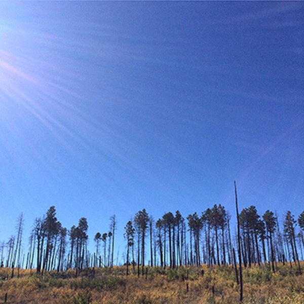Scientists say southwestern pine forests will disappear by 2100. Hotter, larger wildfires are partly to blame.