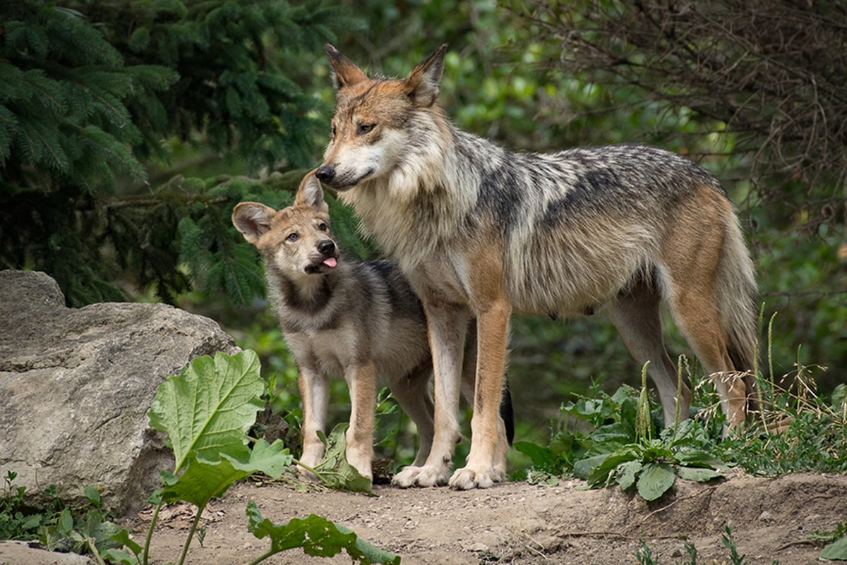 Increasing genetic diversity for wolf offspring is key to recovering the species.