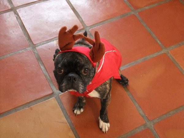O Christmas Steve, O Christmas Steve/how beautiful thy antlers. (No dogs were harmed in the making of this photo.)