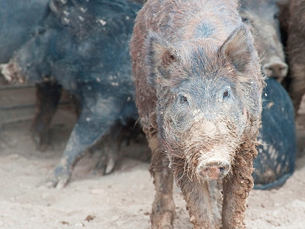 Just look at that face! Feral hogs, the product of escaped domestic pigs and imported wild boar, are intelligent and voracious.