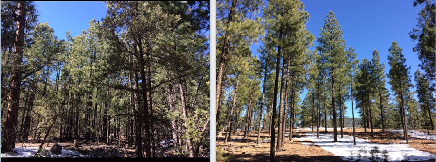 """A dirt road separates these two tracts of forest in the Jemez Mountains. On the left is """"doghair thicket"""" and on the right, an area that has been thinned."""