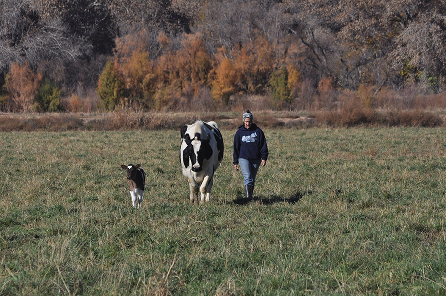 Cows actually get pasture time at De Smet Dairy in Bosque Farms, one of the state's small-scale dairies.