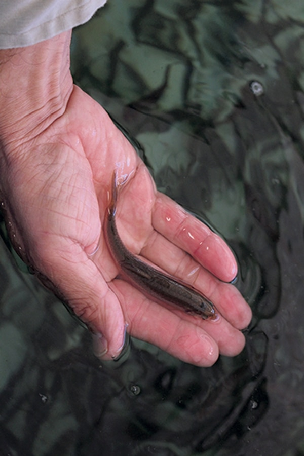The silvery minnow loses habitat every year.