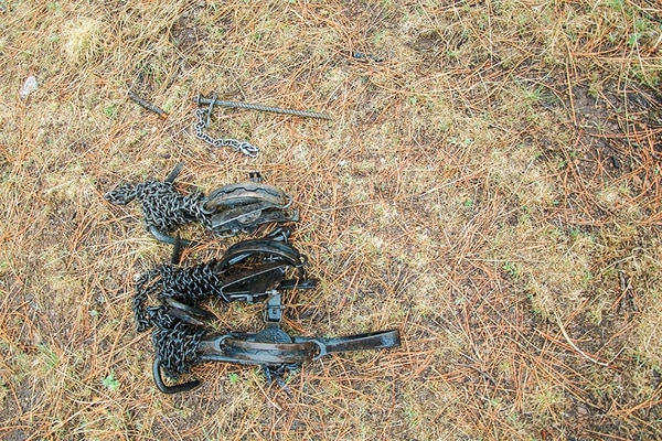 Steel traps like these snapped onto the leg of Guardian, a Mexican gray wolf recently captured and sequestered to a life of captivity because managers say he killed too many cattle.