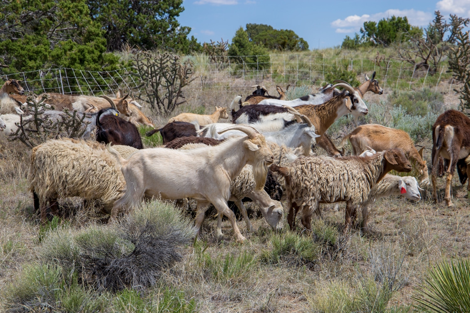 Horned Locust Remediation goats chow down at a private property in Eldorado.
