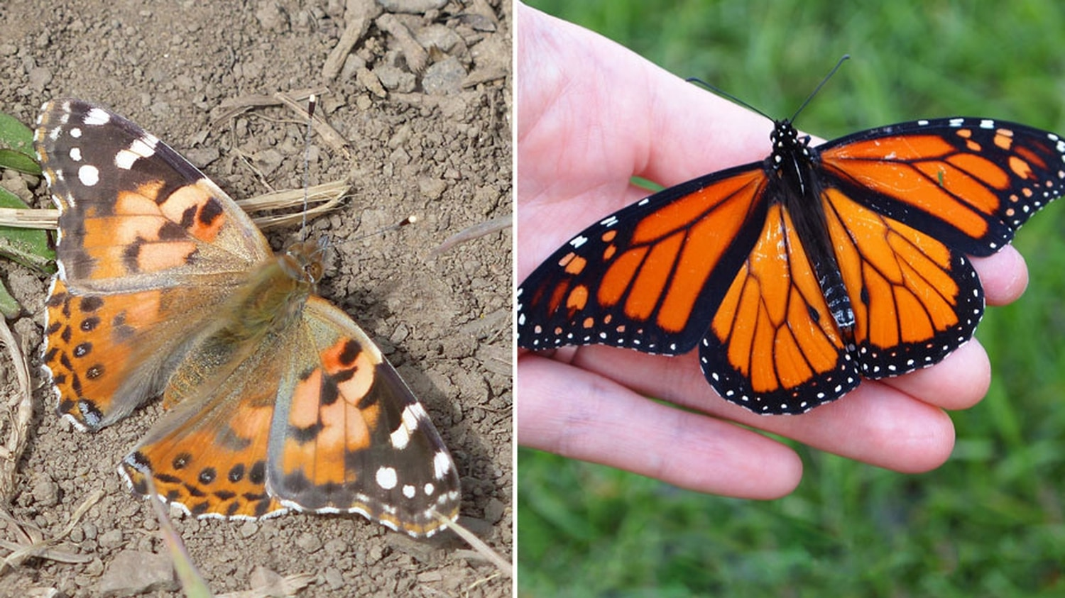 Painted lady on the left; monarch on the right