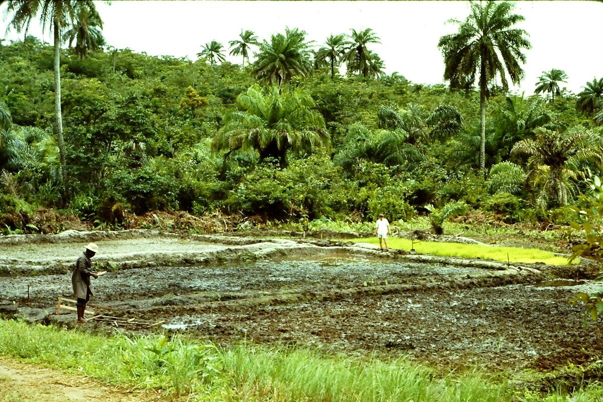 Liberians cultivate rice on the edge of the rainforest.