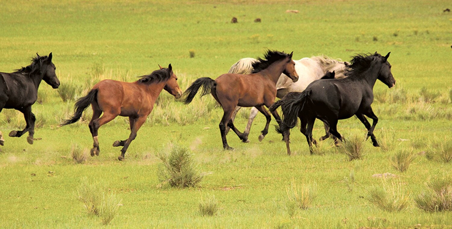 Up to 70 wild horses, like these on the Jarita Mesa, are due to move into captivity this year.