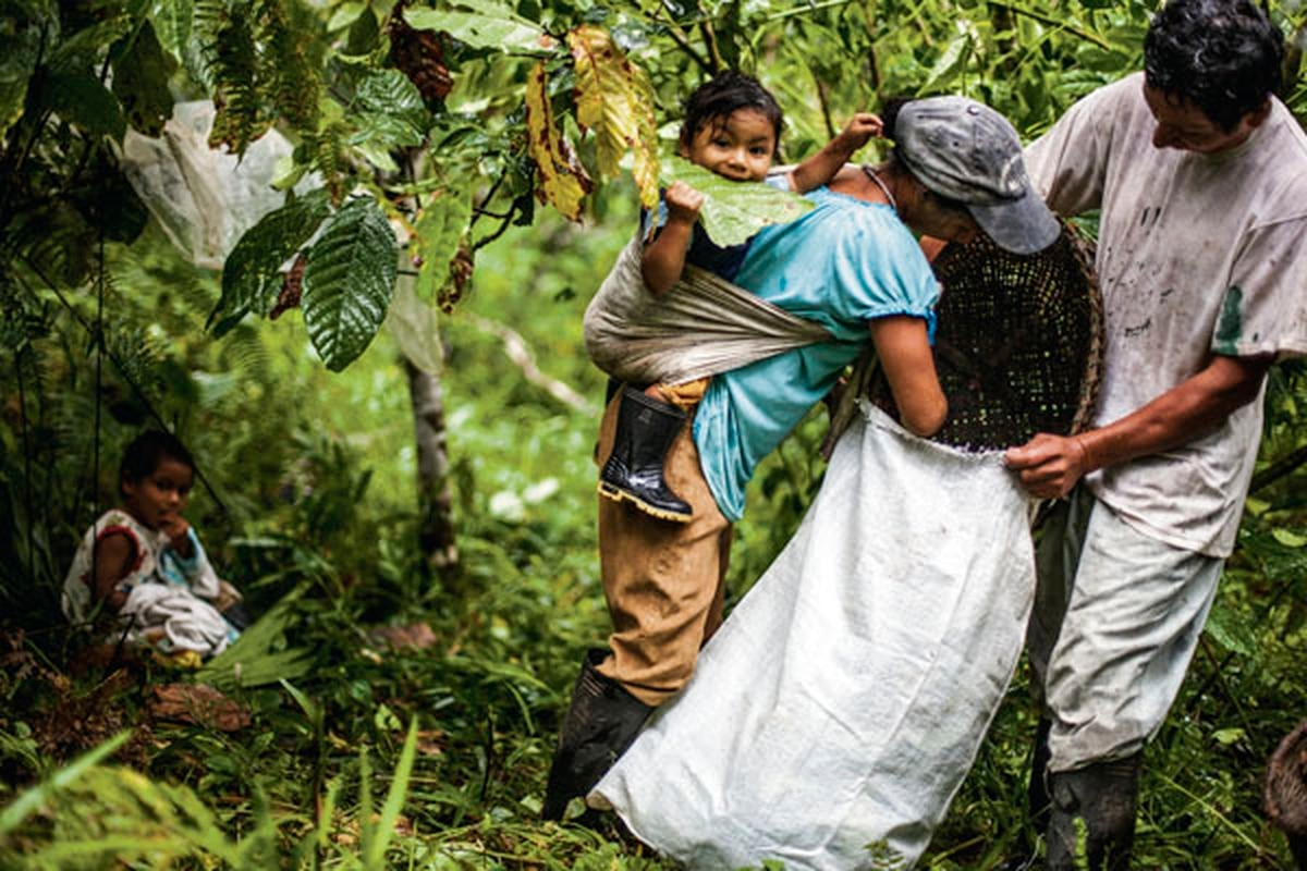 Kichwa farmers of the Ecuadorean Amazon are harvesting guayusa, the main ingredient in Runa tea drinks, in greater amounts to support the company's expansion efforts—a decision that could leave them without traditional cash crops.