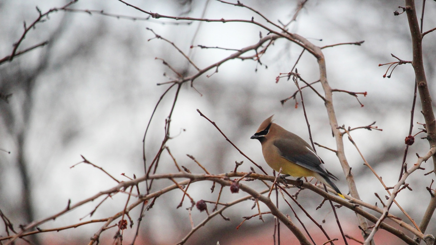 Neighborhood birds like this cedar waxwing are sounding off. All you have to do is listen.