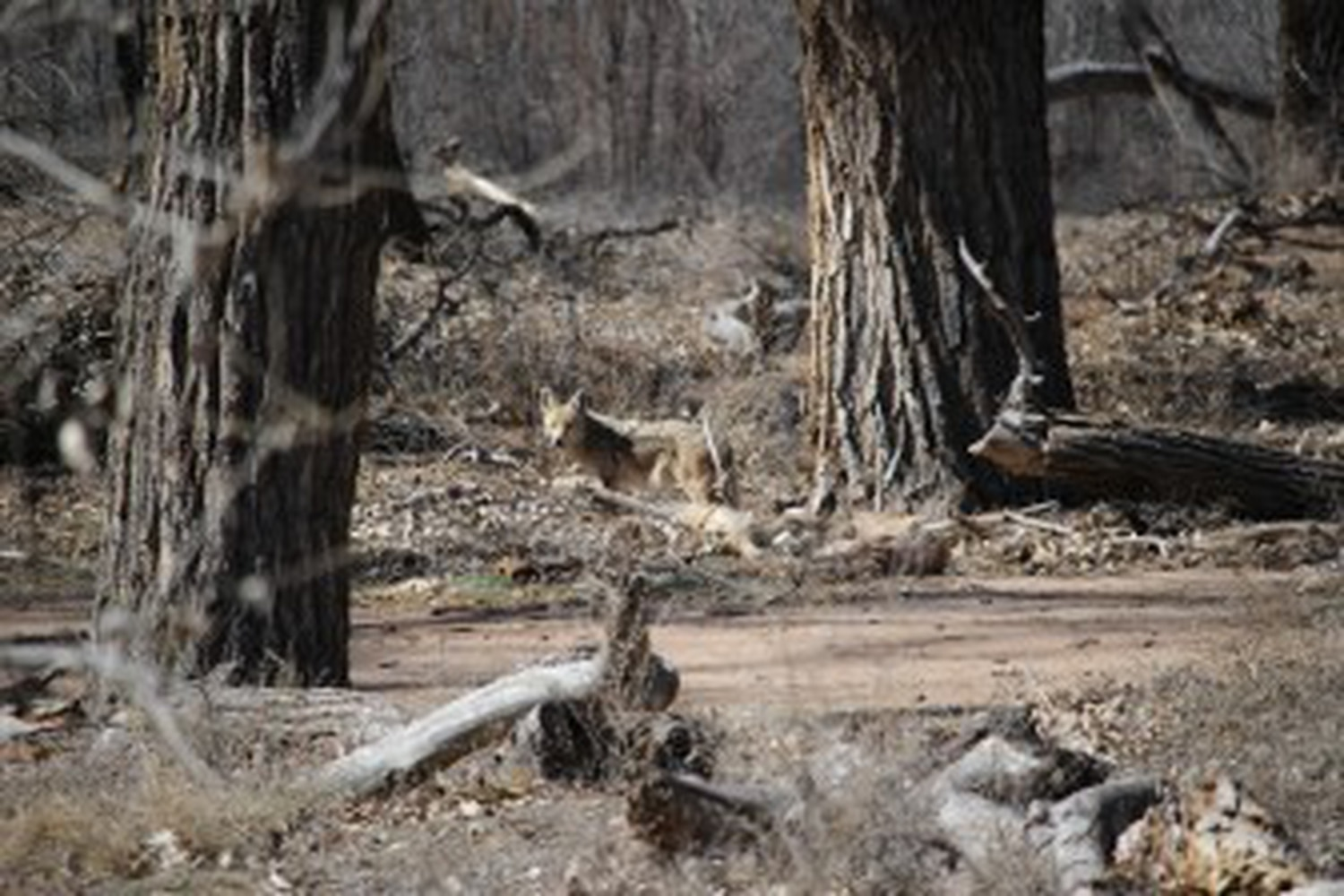 A coyote blends into the bosque this spring at Valle de Oro.