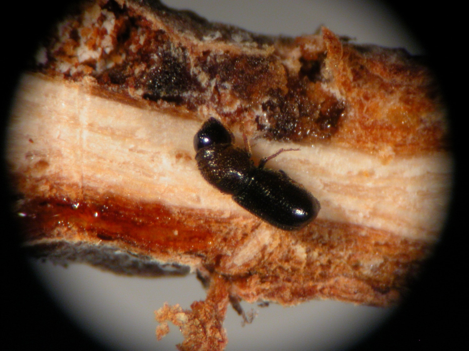 Twig beetles are munching local trees