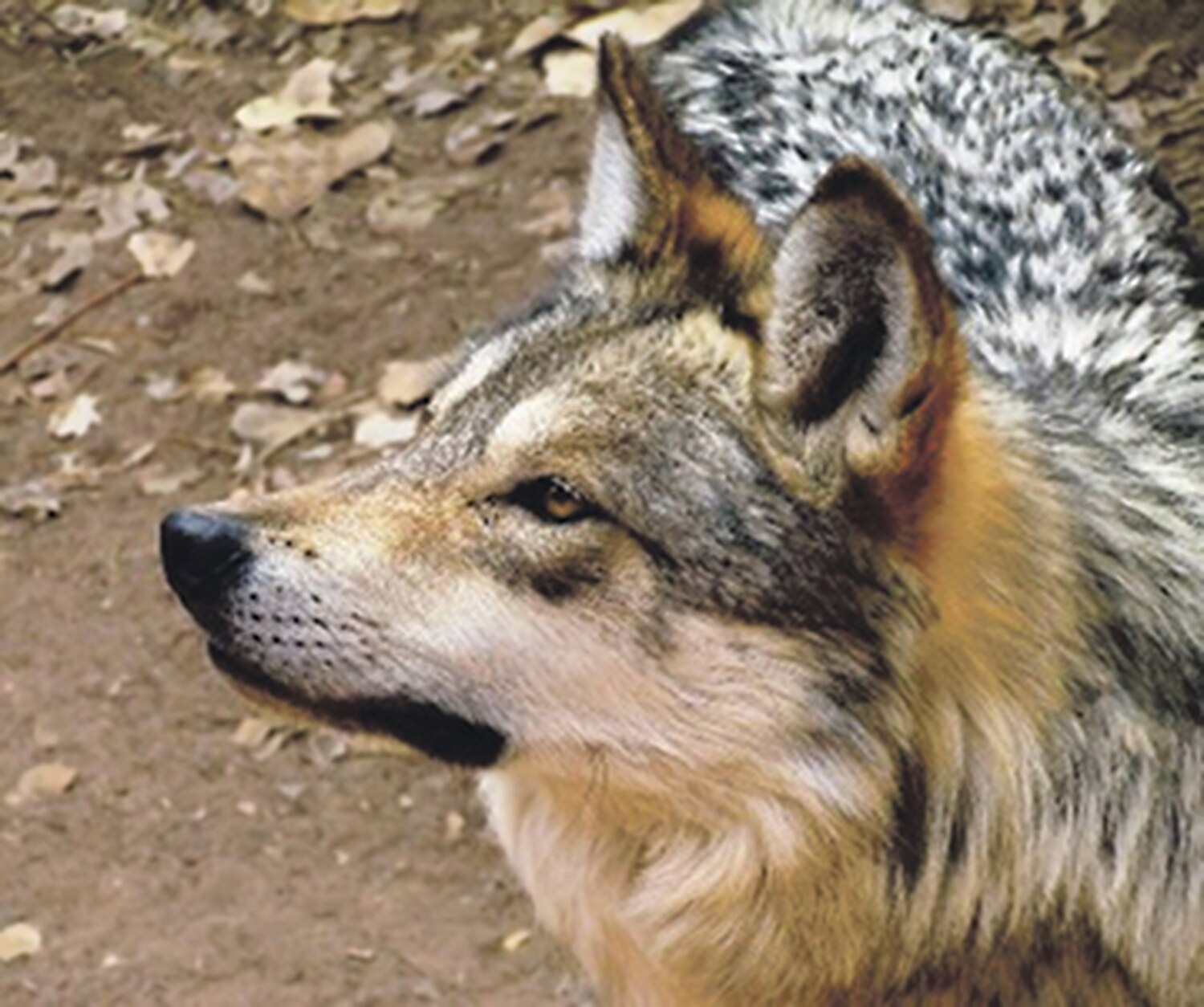 Albuquerque's BioPark has a pair of captive Mexican gray wolves that the US Fish and Wildlife Service hopes to see adding puppies to the wild population that is sorely lackign in genetic diversity.