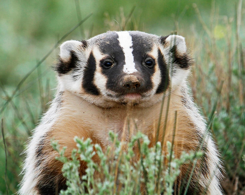 American Badger, Valles Caldera National Park by Mark L Watson