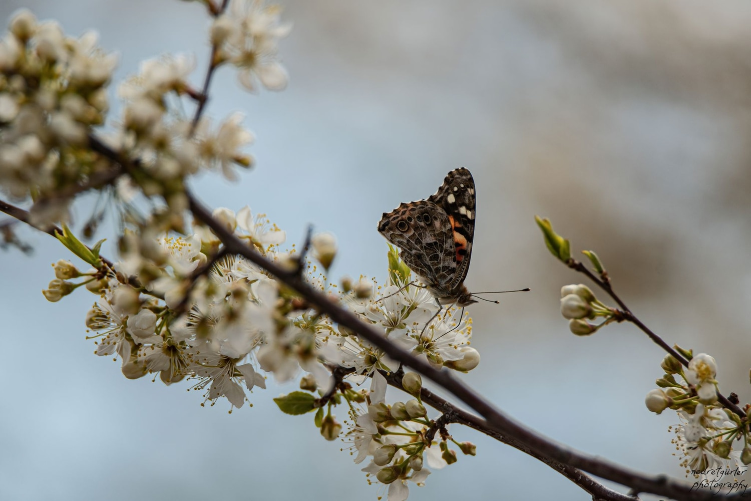 Fruit trees like this plum benefit from pollinators like the painted lady | Photo by Nedret Gürler