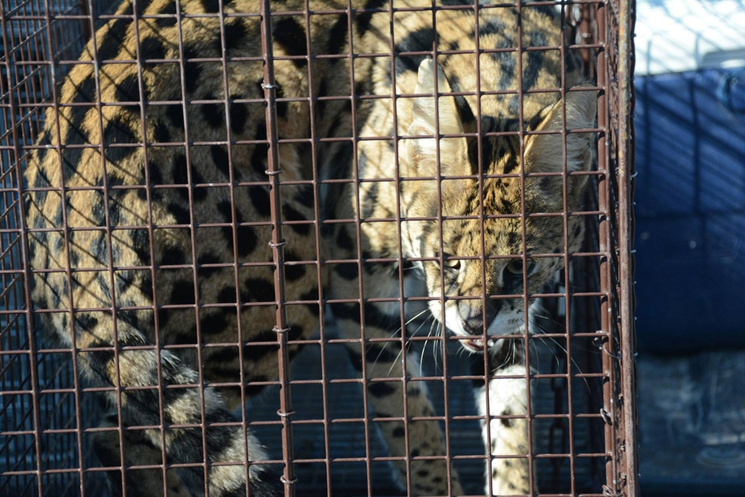 This serval cat was captured Thursday by NMDGF in a live cage