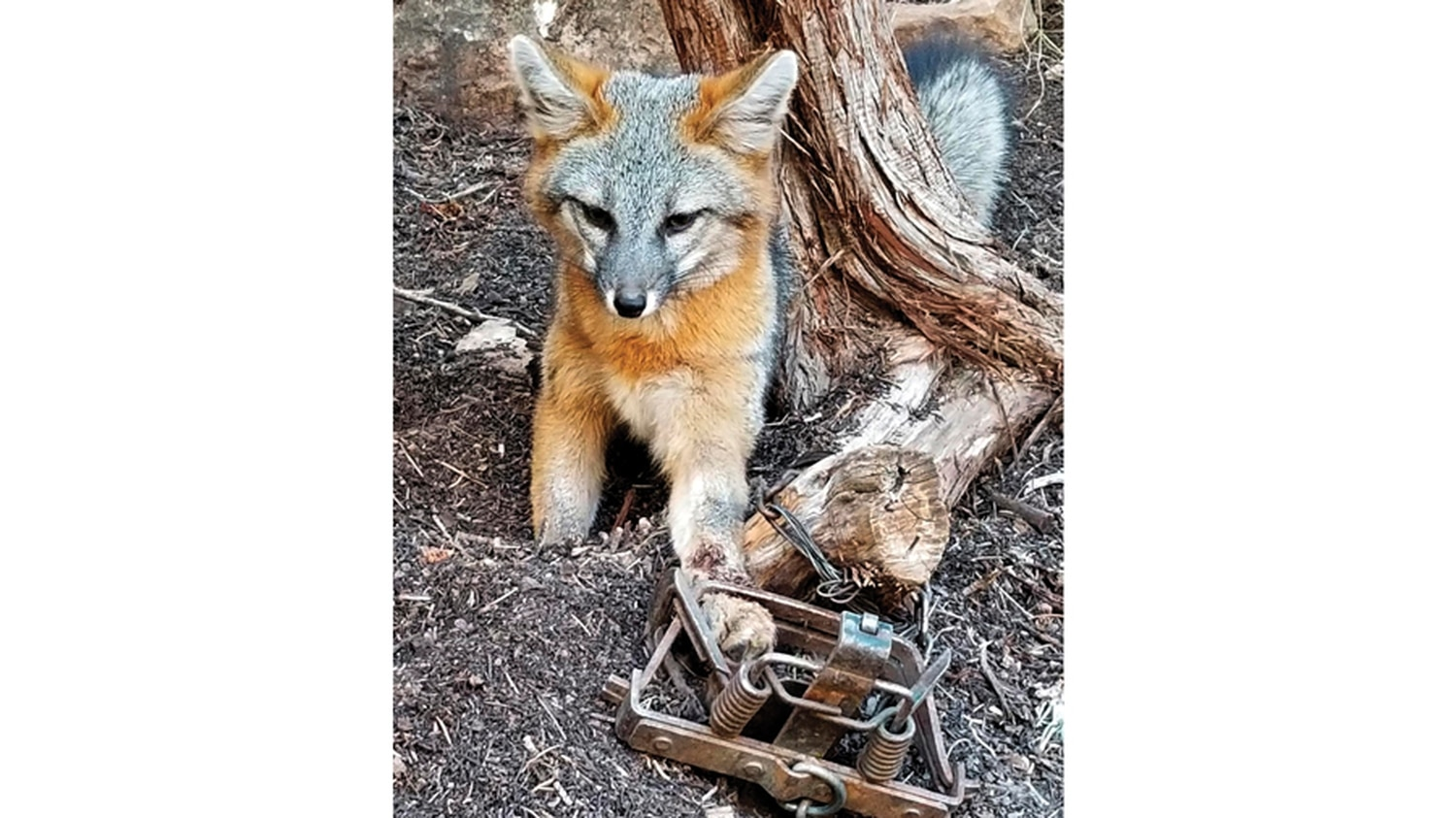 Foxes are among animals that may targeted with trap hunting.