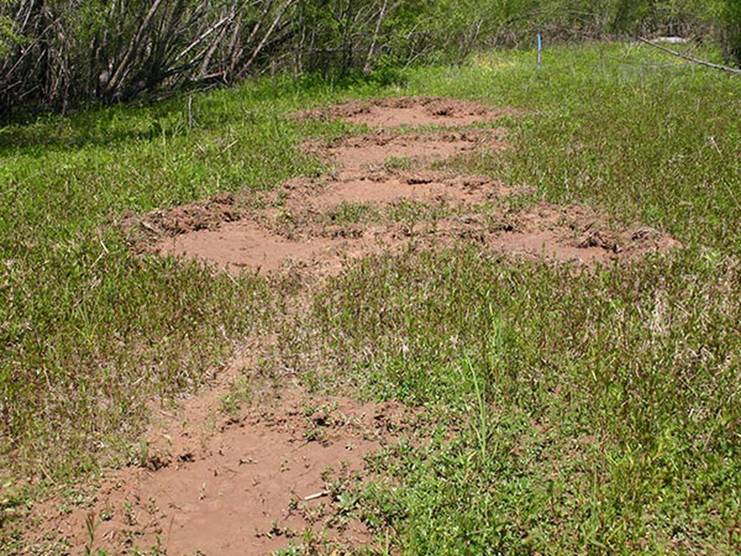 Feral pigs leave behind trails of destruction, making them a bane to farmers, ranchers and environmentalists alike.