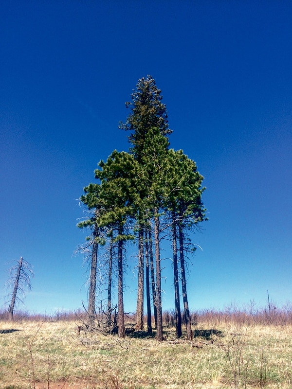 These ponderosa pines survived Las Conchas, but new ponderosas aren't sprouting here. Instead, the lands are being overgrown with locust.