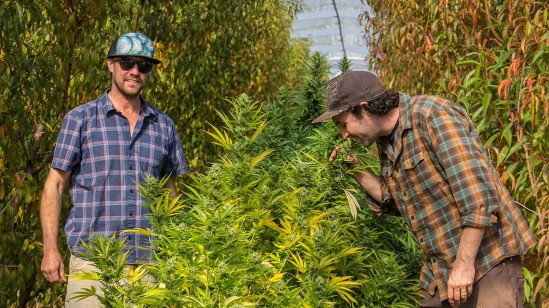 From left, Christopher Bassett and Daniel Scharf of High Grade Organic CBD, inspect a plant they grew alongside fruit trees near Lyden.